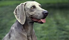 Do Long Haired Weimaraners Shed weimaraner dog breed information