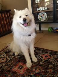 Do Samoyeds Shed All The Time by Success Stories Page 2 U2014 Y Not Save A Sam Rescue
