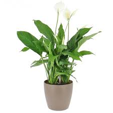 plante d駱olluante bureau livraison spathiphyllum en bac à réserve d eau la plante bac