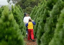 Menards Christmas Tree Bag by 2012 Guide To Bay Area U0027s Christmas Tree Farms And Lots Cbs San