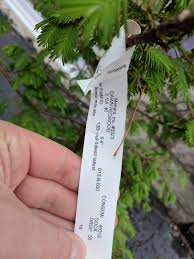 Menards Real Christmas Trees by New Dawn Redwood Tree Destined For Our Backyard