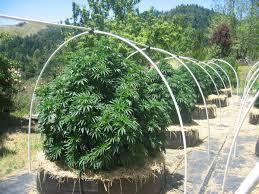 comment cultiver du cannabis la faq définitive