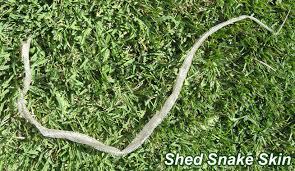 shed snake skin identification