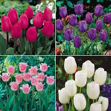 cheap tulip bulbs for sale buy tulip bulbs meuwen
