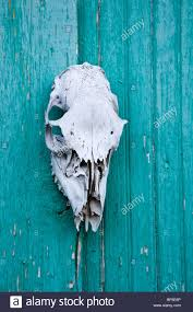 Sun Bleached Animal Skull Mounted On A Green Blue Barn Door Stock ... Barn Door For Bathroom Modern Shower Features Dark Brown Square Door Sliding Glass Blinds As Hdware Ypsilanti Farmers Market Growing Hope With A Blue White Shiplap Walls Frame A Powder On Silver Rail Garage Sale Finds Fridaythe Week I Find Rusty Vintage Stuff 13 Best For Hamptons Images On Pinterest Salina Ks Ideas Unusual Design Come With Color Painted Slidgbndoorcabinetarwprojectstep12 Arrow Fastener Shed
