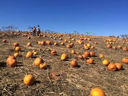 Colony Oklahoma Pumpkin Patch by Halloween U2013 Sigma Kappa Leadership Consultants
