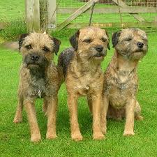 Border Terrier Non Shedding by Border Terrier Club Of The Redwoods