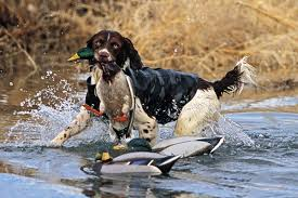 German Shorthaired Pointer Shed Hunter by Why You Should Consider An Off Breed Retriever Wildfowl