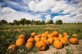 Nicasio Pumpkin Patch Marin by Nicasio Valley Farms Pumpkin Patch 南瓜园 咕噜美国通 Guruin Com