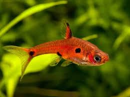 79 best tropical fish for nano aquariums images on