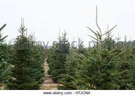 Eustis Christmas Tree Farm by Rows Of Christmas Trees At A Christmas Tree Farm In Bethlehem New