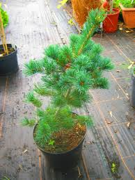 Christmas Tree Saplings For Sale Uk by Sculptural Plants