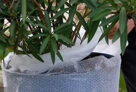 l hivernage du laurier cultivé en pot