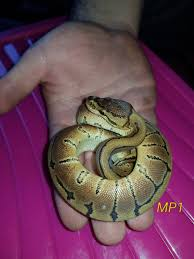 Ball Python Shedding Eating by Baby Ball Pythons Reptiles For Sale In Twickenham Preloved