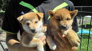 Do Shibas Shed A Lot by Puppy To Color Progression The Shiba Inu Forum