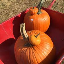 Pumpkin Patch Half Moon Bay 2017 by Best Pumpkin Picking Near Me 2017 U2013 Where To Pick Your Own