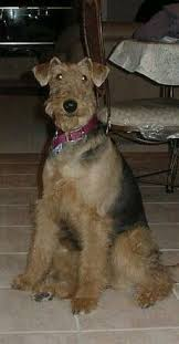 Airedale Terrier Non Shedding by Airedale Terrier Officially Made It To The Must Have Dog List U003c3