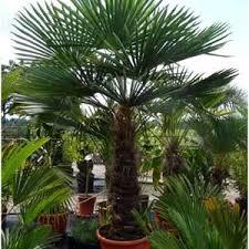 photo de palmier chanvre trachycarpus fortunei plante pour pot