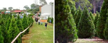 Christmas Tree Sapling Care by We Are Your Online Christmas Tree Farm Store For Australian