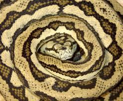 Coastal Carpet Python Facts by Northwest Carpet Python Carpet Vidalondon
