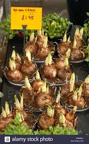 bridal crown daffodil bulb pots for sale at a market in december
