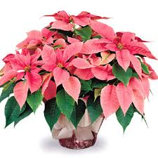Fancy Pink Poinsettia Plant P122P Florist Delivery in Chicago and