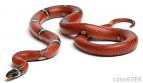Corn Snake Shedding Signs by Snakes Shed Their Skin To Allow For New Growth And To Remove