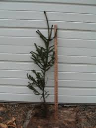 Christmas Tree Saplings For Sale by Norway Spruce Seedlings And Larger Trees