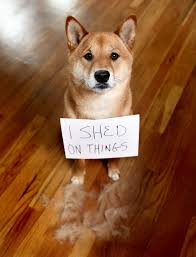 Do Pomskies Shed Fur by Red Shiba Inu Puppy Shedding Or Blowing Coat Funny Shiba