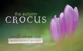 the autumn crocus colchicum byzantinum zionsville in altum s