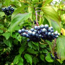 Shasta Daisy New Hampshire Garden Solutions