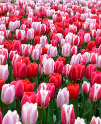 tulip strawberry fields collection tulip bulbs dutchgrown official