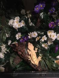 Crested Gecko Shedding Info by Sold Sold Pair Of Crested Geckos Sold Sold Lancing West Sussex