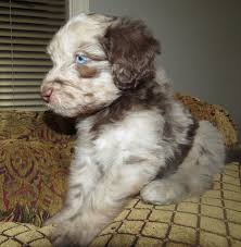 Do F1 Aussiedoodles Shed by Aussiedoodle Puppies U2013 2015 Aussiedoodle And Labradoodle Puppies