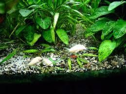 aquarium d eau douce les crevettes d eau douce dans les aquariums communautaires
