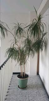 drachen palme wohnzimmer pflanze