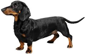 Non Shedding Dog Breeds With Pictures by Non Shedding Dog Breeds Archives Pet Insurance Australia