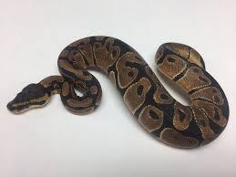 scaleless head ball python female 2016f02 bhb reptiles