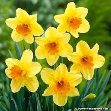 large cupped daffodil bulbs fortissimo american