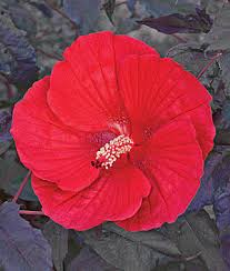 hibiscus midnight marvel ppaf hibiscus at burpee