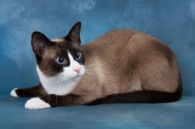 snowshoe cat 10 things you should about the snowshoe cat