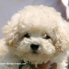 Non Shedding Dog Breeds Small by All Dog Breeds Small Breed Dogs Picture