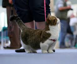 munchkins cats munchkin cats are adorable aww