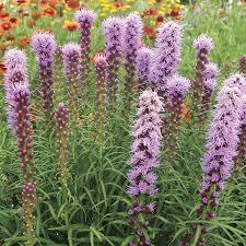 liatris kobold original at wayside gardens