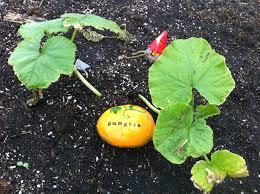 Stages Of Pumpkin Growth by Garden Design Garden Design With Growing Pumpkins Bonnie Plants