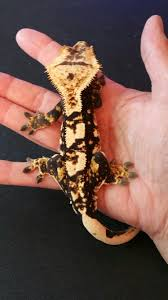 Halloween Harlequin Crested Gecko For Sale by Tri Color Male Crested Gecko Cresties Pinterest