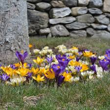 crocus flowers crocus bulbs more white flower farm