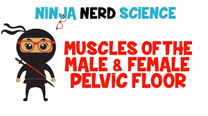 Muscles Of The Pelvic Floor Male by Muscles Of The Male U0026 Female Pelvic Floor Youtube
