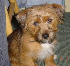 Do Jackie Bichon Shed by Yorkie Russell Yorkie X Jack Russell Terrier Mix Facts