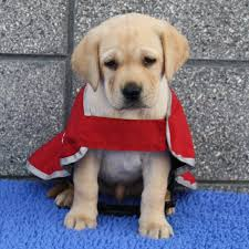 Why Do Puggles Shed So Much by Goldador Golden Retriever Lab Mix The Ultimate Golden Labrador